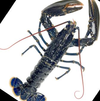 Homard bleu entier cru surgel freshpack - Comment cuisiner le homard cuit surgele ...