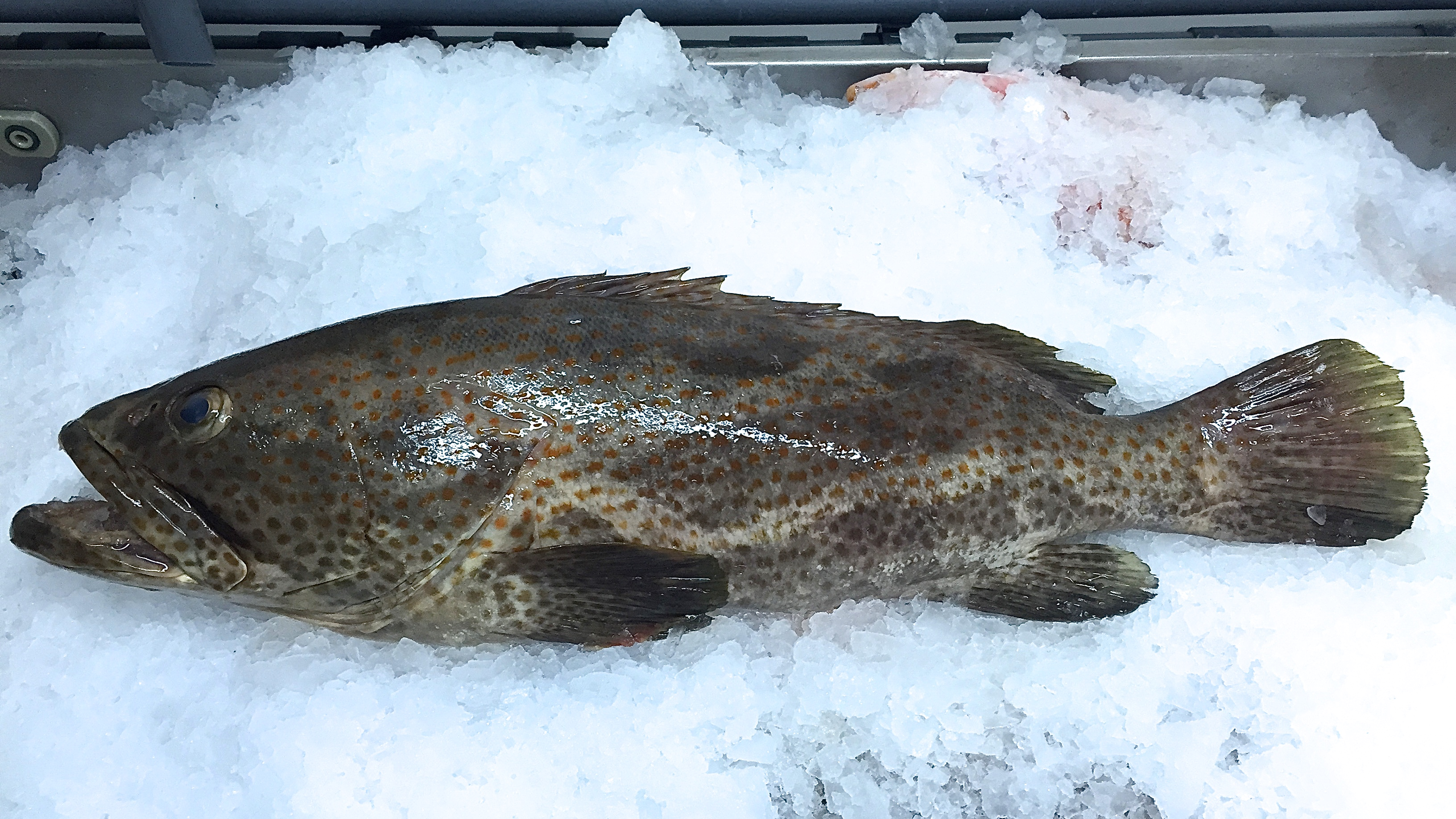Frozen Orange-spotted grouper from Madagascar|FRESHPACK